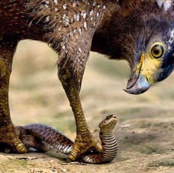 hawk and snake