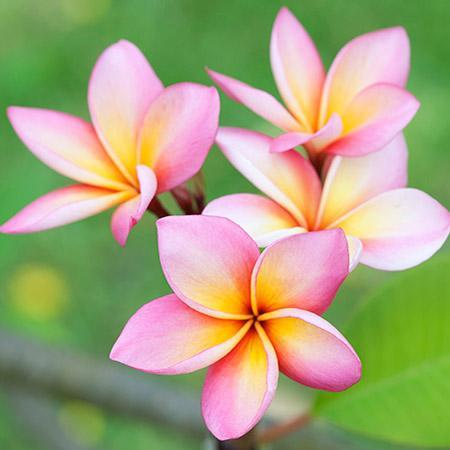Pink-Plumeria-450w_large